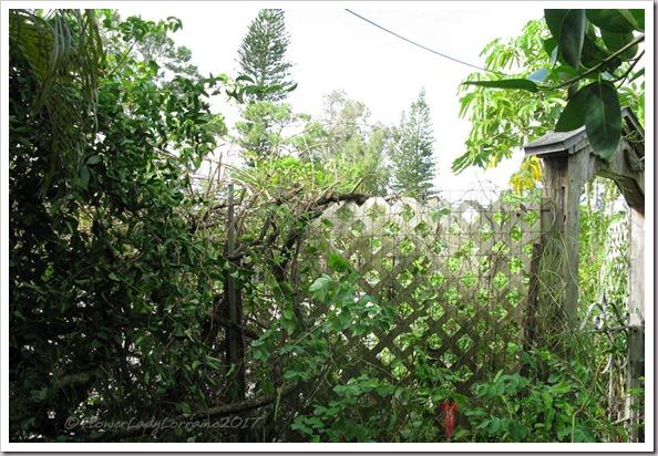 09-23-jasmine-hedge