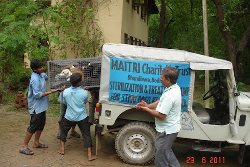 Sterilized dogs being taken back to their territories, June 2011. MAITRI Charitable Trust offers this service to reduce stray dog populations in Bodhgaya, India.