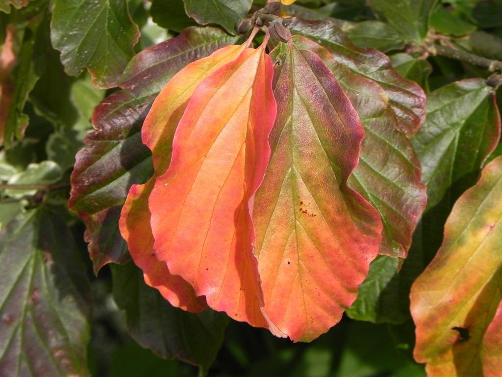 Parrotia-persica-2