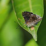 Lasaia agesilas agesilas (Latreille, [1809]). Finca La Graciela, 239 m (Tamarindo, Casanare, Colombie), 5 novembre 2015. Photo : J.-M. Gayman