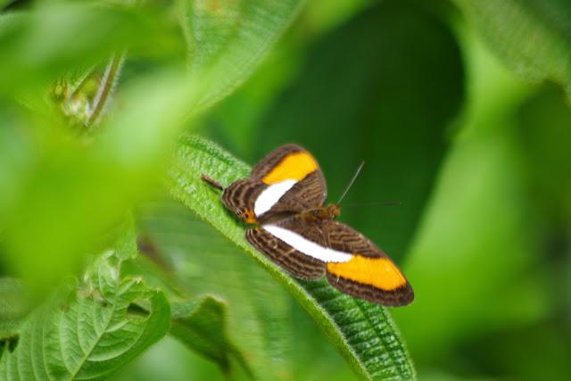 Adelpha cytherea daguana Fruhstorfer, 1913. Rambala, 90 m (Punta Peña, Bocas del Toro, Panamá), 27 octobre 2014. Photo : J.-M. Gayman
