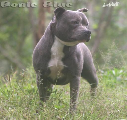 Preferência Petclube Filhotes Cães Bully Gatos Gigantes Criadores  LU39