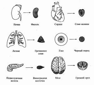 Соответствие семян и органов человека