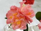 淡桃色 八重咲き 中〜大輪