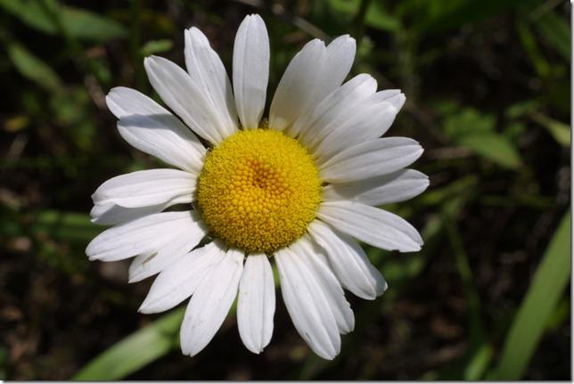 margaritas flores (43)