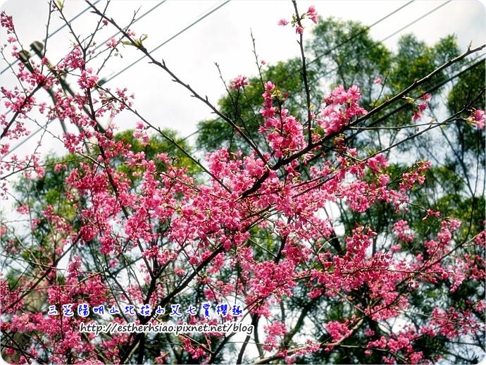 13 美麗山櫻花