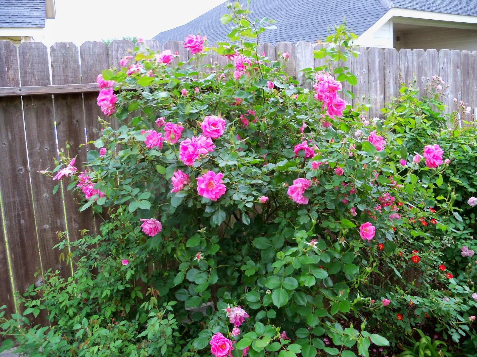 Gardening 2014 - 116_1492.JPG