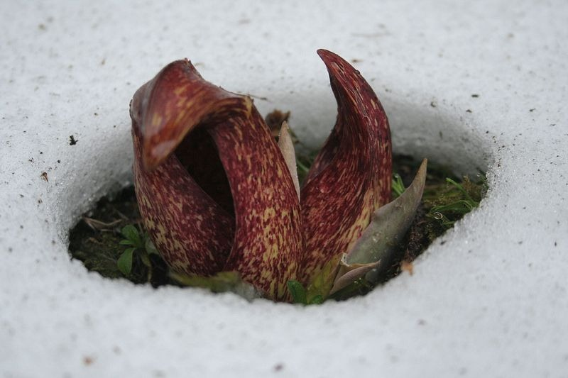 skunk-cabbage-1