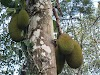 India. Kerala Motorbike Road Trip. Jackfruits around Thekkady jungle