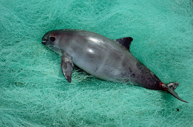 The extremely rare vaquita, a small porpoise, drowns in gill nets intended to catch totoaba, whose swim bladders are worth thousands on the Chinese market. Photo: Flip Nicklin / Minden Pictures / National Geographic Creative