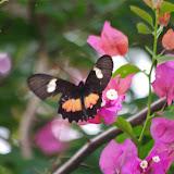 Parides eurimedes arriphus (Boisduval, 1836), femelle. Fundo Palmarito, 265 m (Yopal, Casanare, Colombie), 8 novembre 2015. Photo : J.-M. Gayman