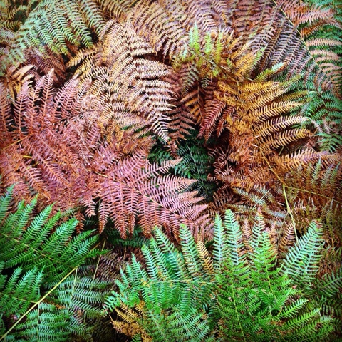 forest, Limousin, ferns, autumn, seasons, wood, France, nature, de tout coeur limousin, Creuse,