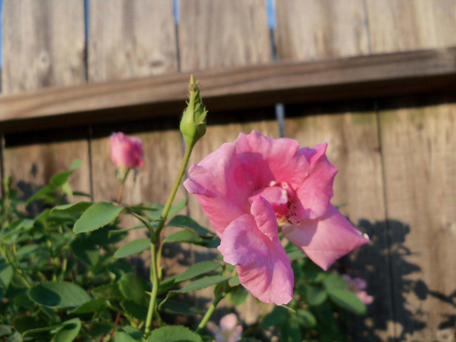 Gardening 2011 - 115_0453.JPG