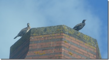 4a cormorants on smethwick pumpingstation chimney