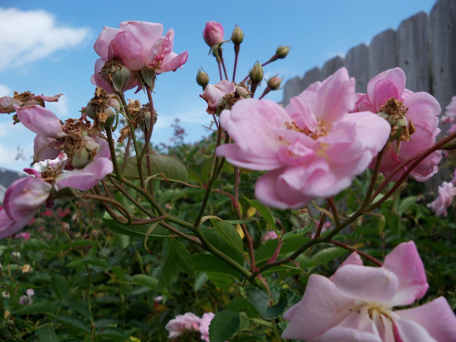 Gardening 2012 - 115_1646.JPG