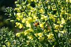 Bees love broccoli flowers.