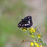 Limenitis reducta STAUDINGER, 1901. Les Hautes-Courennes (480 m). Saint-Martin-de-Castillon (Vaucluse), 13 mai 2014. Photo : J.-M. Gayman