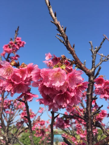 Okinawa cherry blossoms in Ishikawa