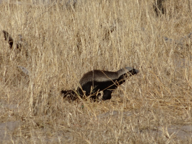 A honey badger seen at Moremi
