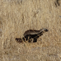 A honey badger seen at Moremi