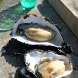 giant oysters from Texel in Texel, Noord Holland, Netherlands
