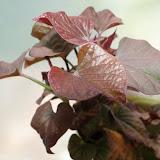 cultivo de meristemas para obtencion de batata libre de virus - 003.JPG