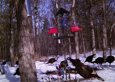 Trail cam turkeys