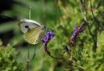 Kanarisk kålsommerfugl, Pieris cheiranthi5.jpg