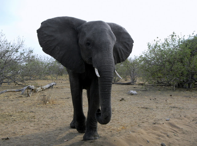 Chobe Game Reserve, this guy is about 4 feet from the vehicle