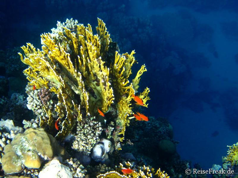 016 Ägypten Dez 2014 - Marsa Alam - Coraya Bay IMG_0304