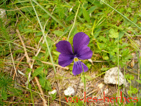 viola tricolor.jpg