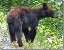 Bear near Stewart