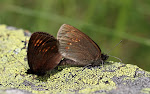 Erebia alberganus - parring2.jpg