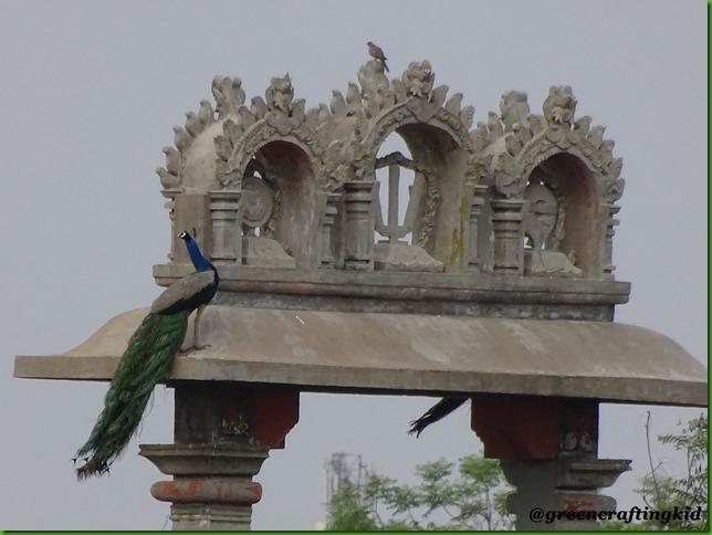 Peacock.2