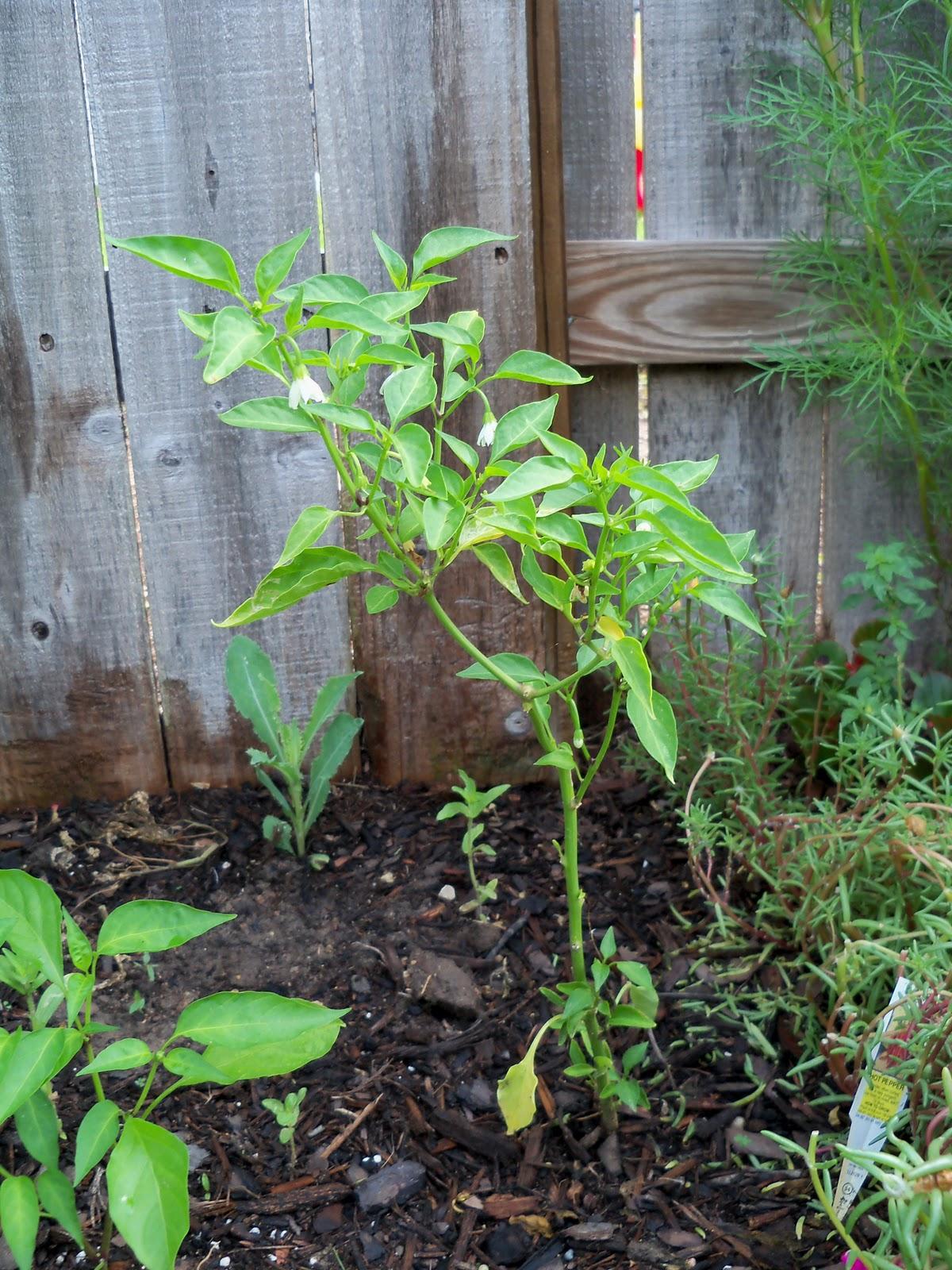 Gardening 2010, Part Two - 101_3313.JPG