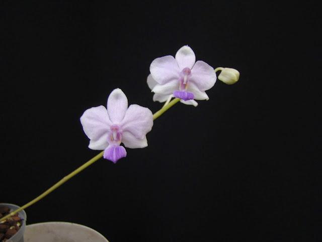 Phalaenopsis Siam Treasure DSC03381
