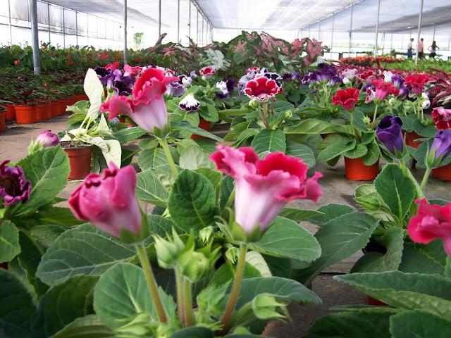 cultivo de plantas florales anuales - 100_0296.JPG