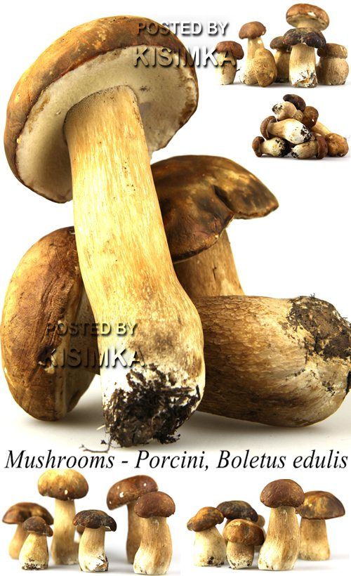 Stock Photo: Mushrooms - Porcini, Boletus edulis