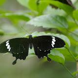 Papilio nephelus albolineatus FORBES, 1885. Poring (Sabah, Malaisie), 31 juillet 2011. Photo : J.-M. Gayman