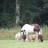Paard & Erfgoed 2 sept. 2012 (85 van 139)
