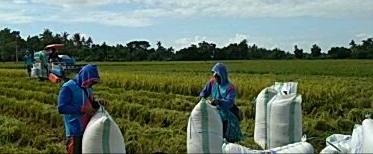 Penyuluh Pertanian Kab. Sidrap Tak Surutkan  Semangat Terus Dampingi Petani