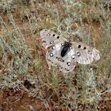 Parnassius (Parnassius) apollonius narynus FRUHSTORFER, 1908 (femelle très défraichie). Tian Shan, Baybiche Tau, Beurolly road (2250 m), Kyrgyzistan, juillet 2009. Photo : J. Ouvaroff