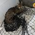 Raposa é resgatada no Hospital de Samambaia