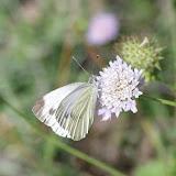 Pieris napi napi (L., 1758), femelle. Les Hautes-Courennes (550 m), Saint-Martin-de-Castillon (Vaucluse), 21 juin 2015. Photo : J.-M. Gayman