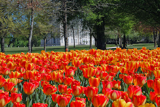 tulipes-cheverny-3©S-Clamens