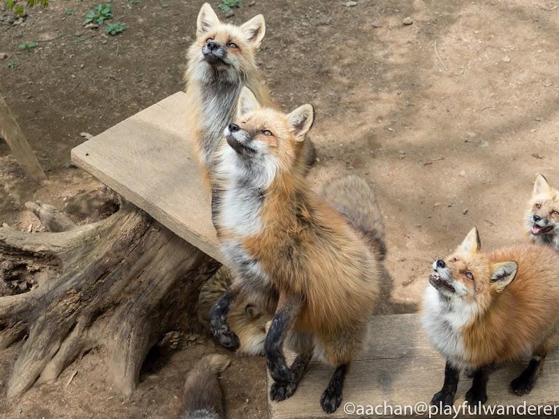 foxvil (52 - 70).jpg
