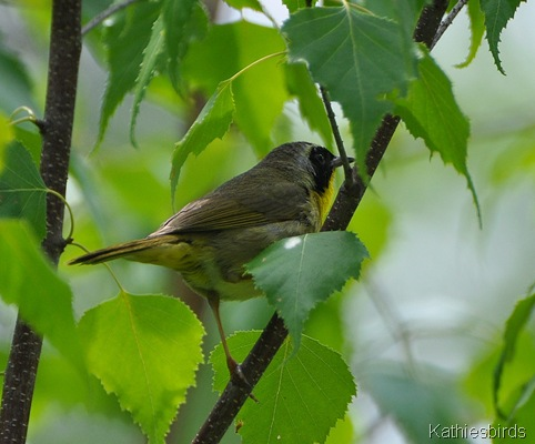 1. Common yellowthroat-kab