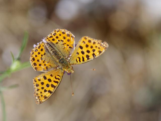 Issoria lathonia (Linnaeus, 1758), femelle. Les Hautes-Courennes (550 m), Saint-Martin-de-Castillon (Vaucluse), 16 juin 2015. Photo : J.-M. Gayman