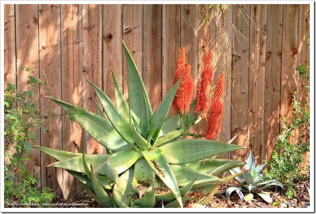 160306_fy_aloes_004