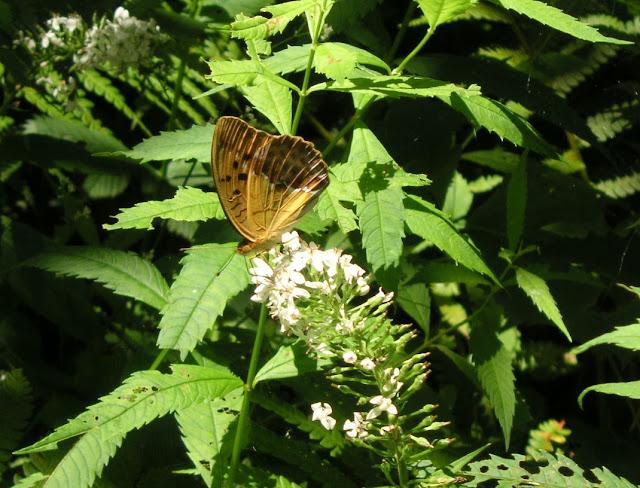 Argyronome ruslana ruslana MOTSCHULSKY, 1866, mâle. Extrémité sud de la péninsule de Gamova, 29 juillet 2010. Photo : J. Michel